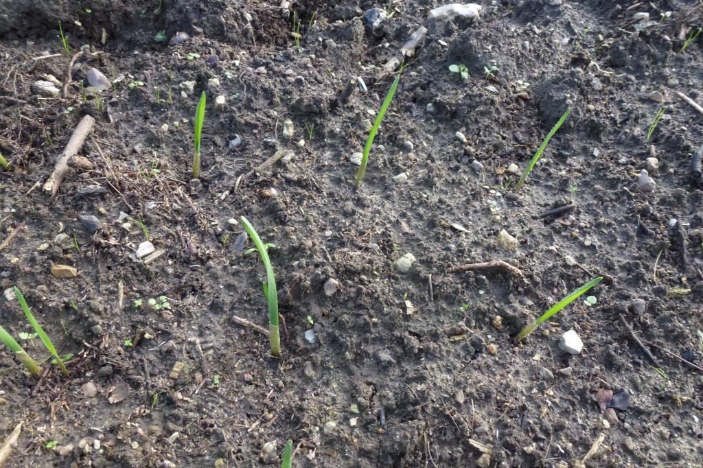 Nyplantede hvidløg